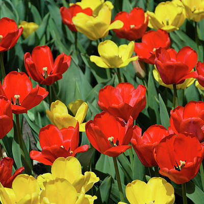 Photograph - Red And Yellow Tulips Section 03 Of 10 by Michael Bessler