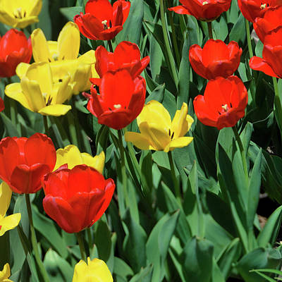 Photograph - Red And Yellow Tulips Section 05 Of 10 by Michael Bessler