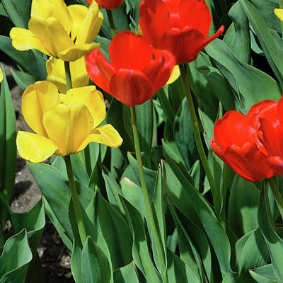 Photograph - Red And Yellow Tulips Section 07 Of 10 by Michael Bessler