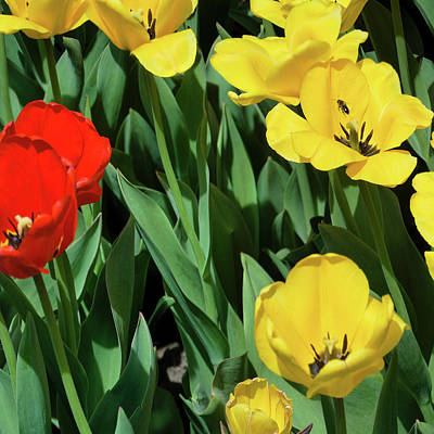 Photograph - Red And Yellow Tulips Section 08 Of 10 by Michael Bessler