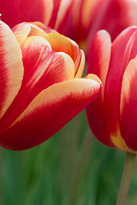 Photograph - Red And Yellow Tulips by Thomas Hall