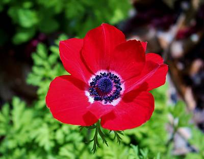 Photograph - Red Anemone by Cynthia Guinn