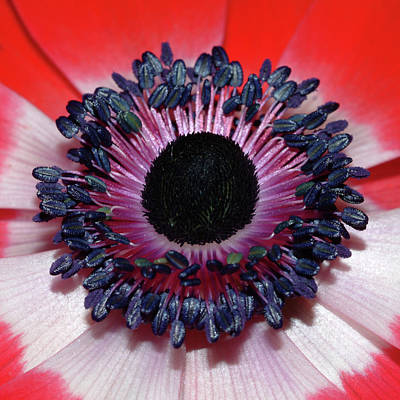 Photograph - Red Anemone V1 by Robert Shard