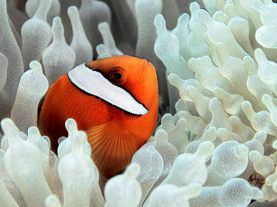 Fish Photograph - Red Anemonefish In White Anemone by Henry Jager
