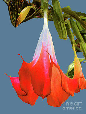 Photograph - Red Angel's Trumpet Flower by Merton Allen
