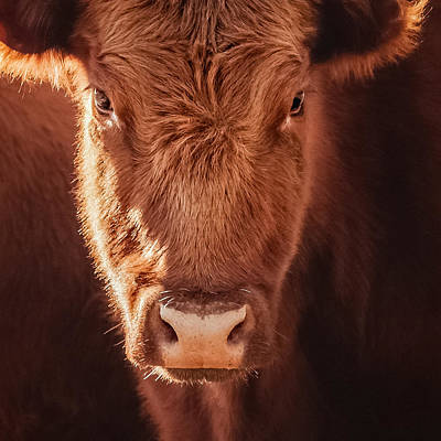 Red Angus Cow Photograph - Red Angus by Debi Bishop