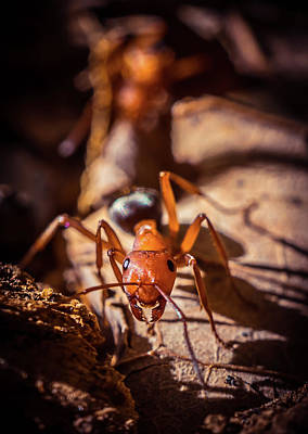 Photograph - Red Ant by Lilia D