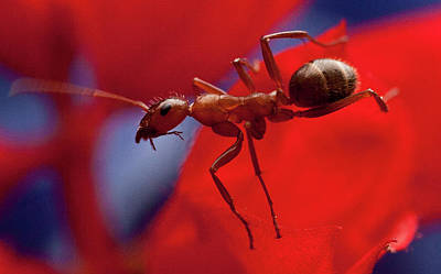 Art Print featuring the photograph Red Ant Macro by Jeff Folger