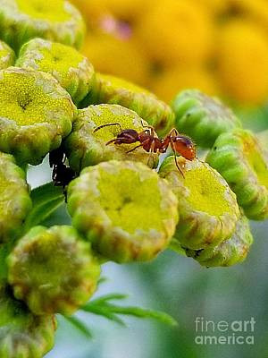 Photograph - Red Ant by Michael Graham