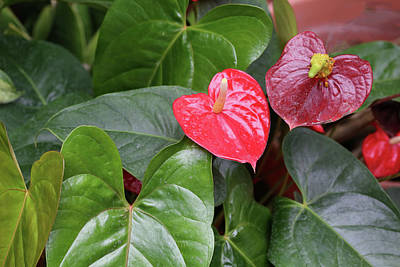 Photograph - Red Anthurium Dow Gardens 062618 by Mary Bedy