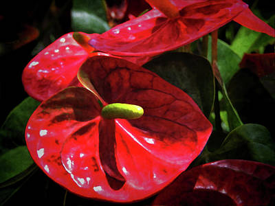 Photograph - Red Anthurium Spathes by HH Photography of Florida