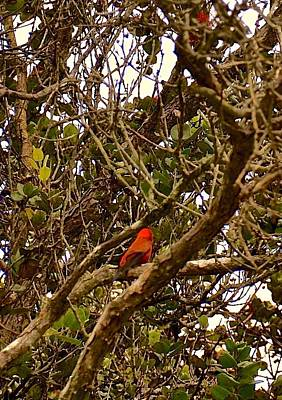 Photograph - Red Apapane In Ohia Forest  by Lehua Pekelo-Stearns