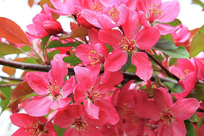 Photograph - Red Apple Blossoms 2 by Scott Hovind