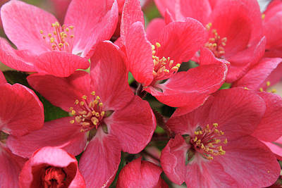 Photograph - Red Apple Blossoms 3 by Scott Hovind