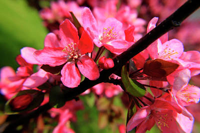 Photograph - Red Apple Blossoms 5 by Scott Hovind