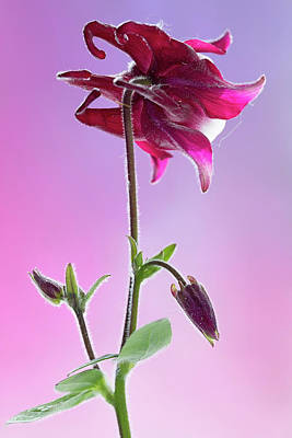 Photograph - Red Aquilegia 1 by Shirley Mitchell