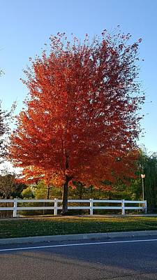 Photograph - Red Arbor Tree  by Rob Hans