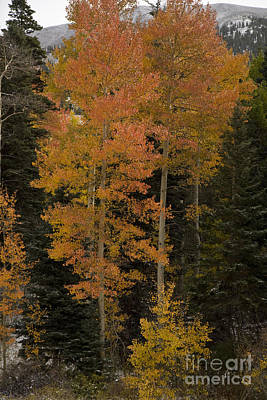 Red Aspens Art Print