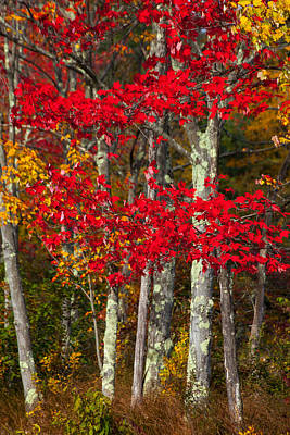 Photograph - Red Autumn by Karol Livote