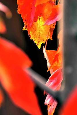 Photograph - Red Autumn Leaf by Jerry Sodorff