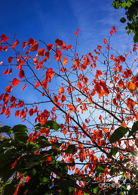 Photograph - Red Autumn Leaves by Ismo Raisanen