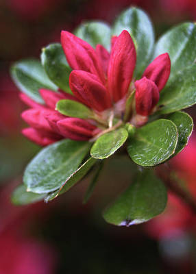 Photograph - Red Azalea Buds by Judi Quelland