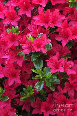 Photograph - Red Azaleas by Frank Townsley