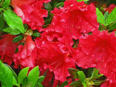 Red Azaleas Art Print by Richard Singleton