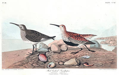 Sandpiper Wall Art - Painting - Red Backed Sandpiper by John James Audubon