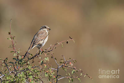 Photograph - Red-backed Shrike Juv. - Lanius Collurio by Jivko Nakev