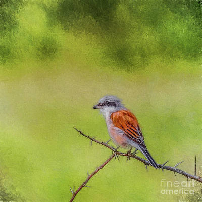 Digital Art - Red-backed Shrike by Liz Leyden