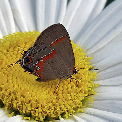 Photograph - Red-banded Hairstreak by Amy Jo Garner