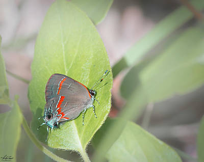 Photograph - Red-banded Hairstreak Butterfly by Phil and Karen Rispin
