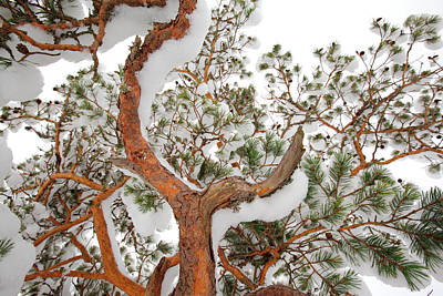 Photograph - Red Bark And Green Pne Needles Covered With Snow by Ulrich Kunst And Bettina Scheidulin