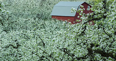 Photograph - Red Barn In The Blossoms by Don Schwartz