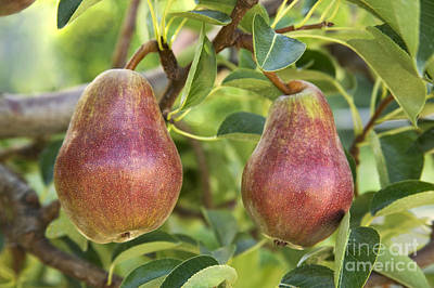 Pyrus Communis Photograph - Red Bartlett Pears by Inga Spence