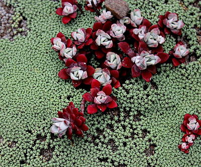 Photograph - Red Beach Succulents by Larry Bacon