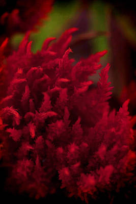 Photograph - Red Beauty by Cherie Duran