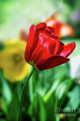 Photograph - Red Beauty by Susan Warren