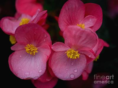 Photograph - Red Begonias by Amy Porter