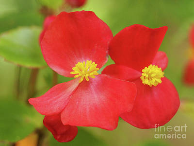 Photograph - Red Begonias In Autumn by Dorothy Lee