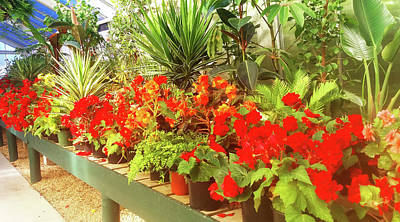 Photograph - Red Begonias In The Glasshouse. by Nareeta Martin