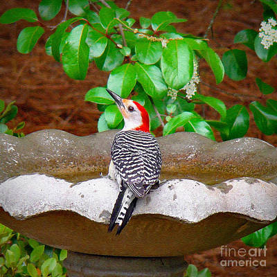 Photograph - Red-bellied Beauty by Sue Melvin