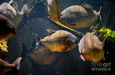 Piranha Photograph - Red Bellied Hungry Piranha by Arletta Cwalina