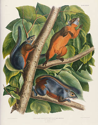 Squirrel Painting - Red Bellied Squirrel  by John James Audubon