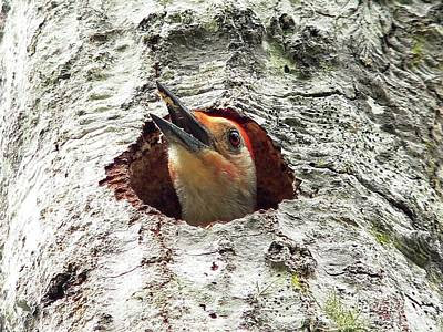 Woodpecker Photograph - Red-bellied Woodpecker 03 by Al Powell Photography USA