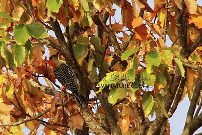 Photograph - Red-bellied Woodpecker 1453 by Captain Debbie Ritter
