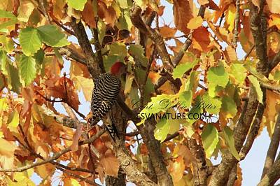 Photograph - Red-bellied Woodpecker 1454 by Captain Debbie Ritter