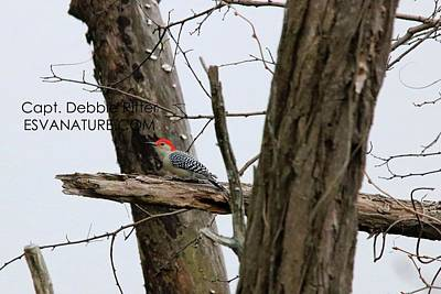 Photograph - Red-bellied Woodpecker 2590 by Captain Debbie Ritter