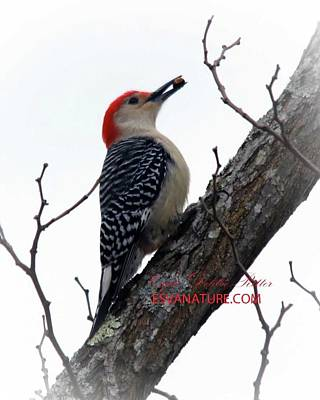 Photograph - Red-bellied Woodpecker 9830 by Captain Debbie Ritter
